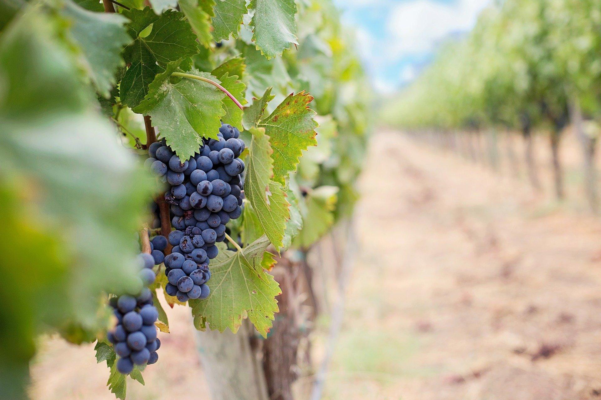 Auch Joseph Haydn verfügte über einen eigenen Weingarten © Pixabay